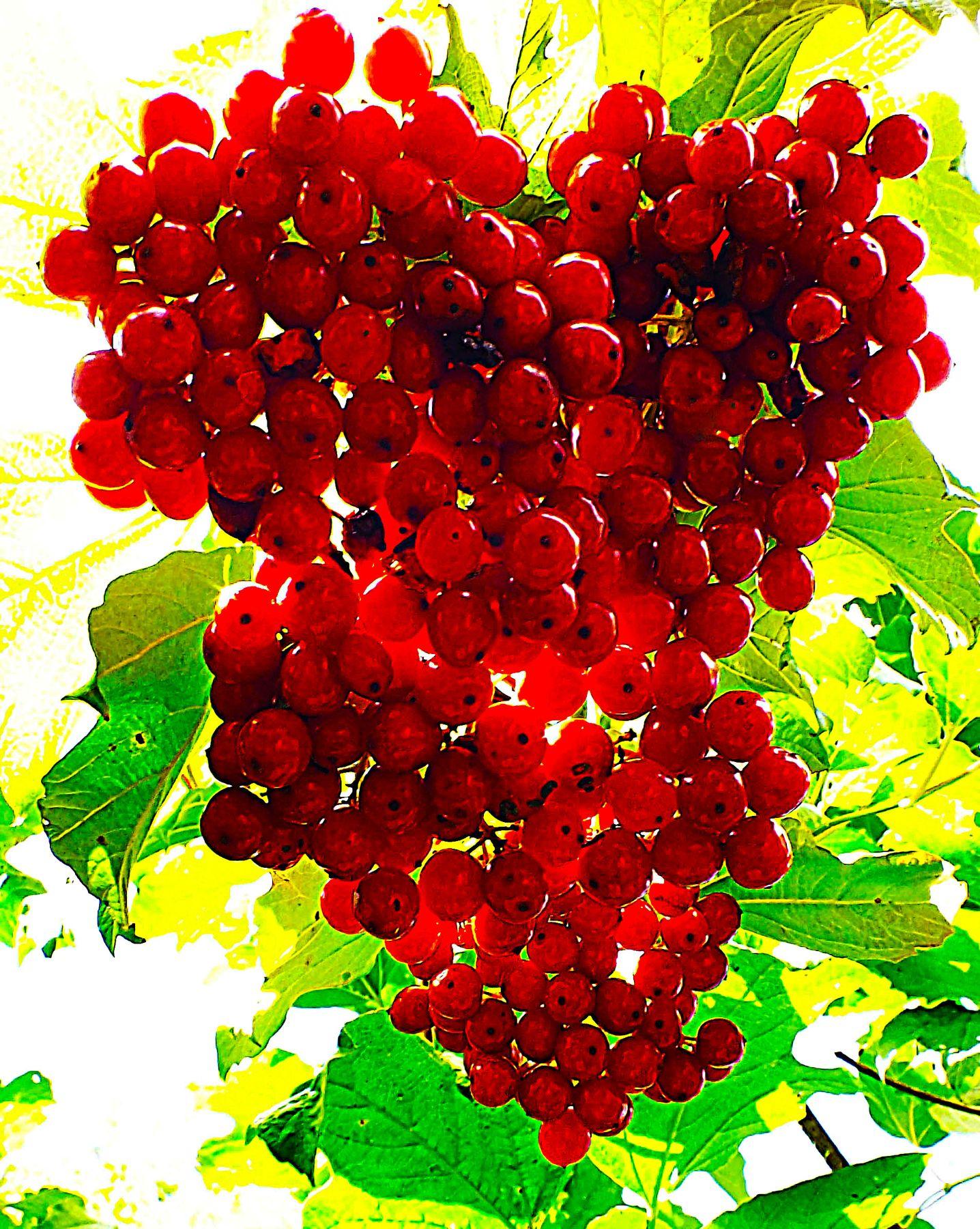 Лечебная гроздь гроздь калина