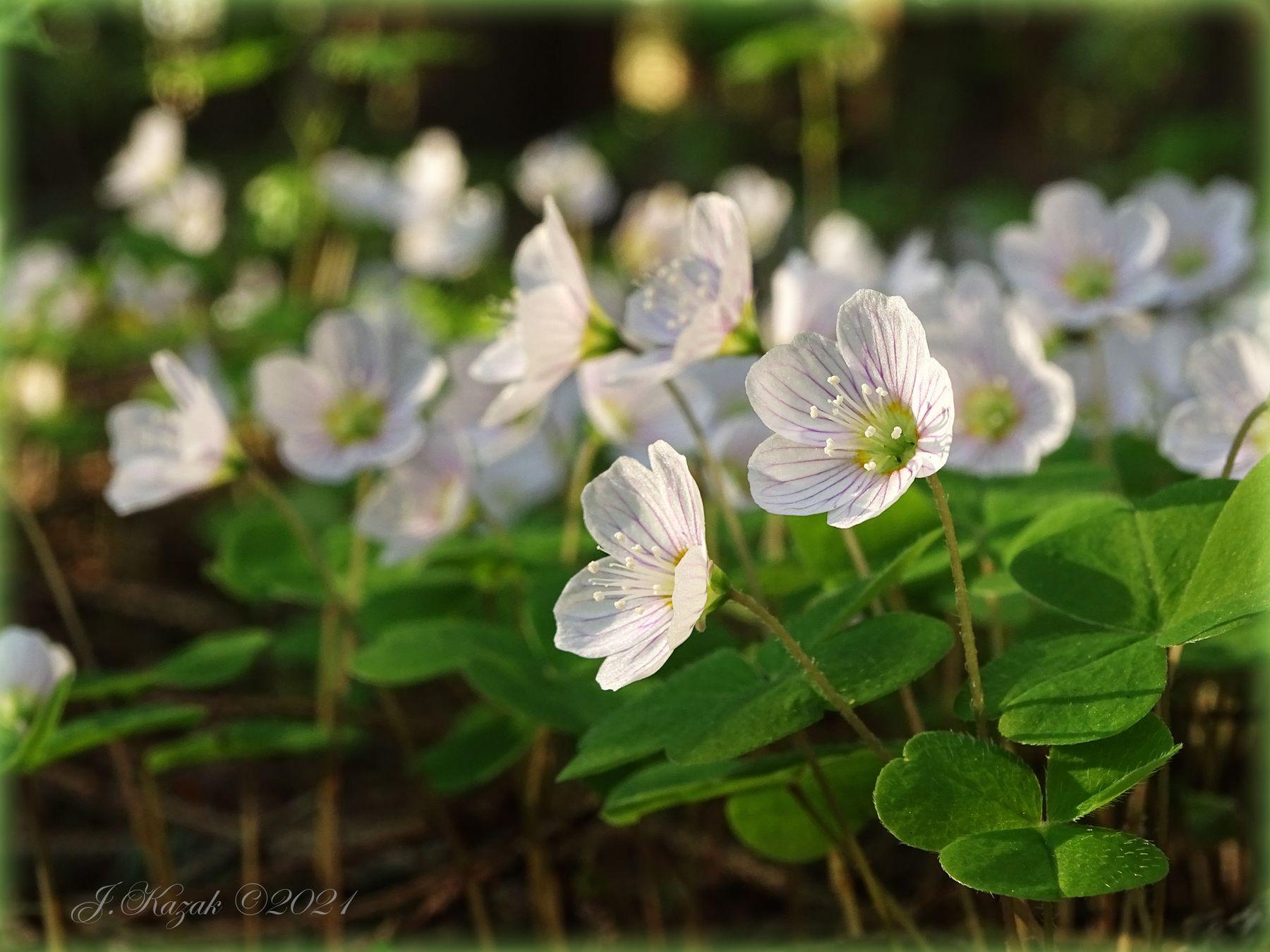 Кислица обыкновенная. природа флора цветы весна