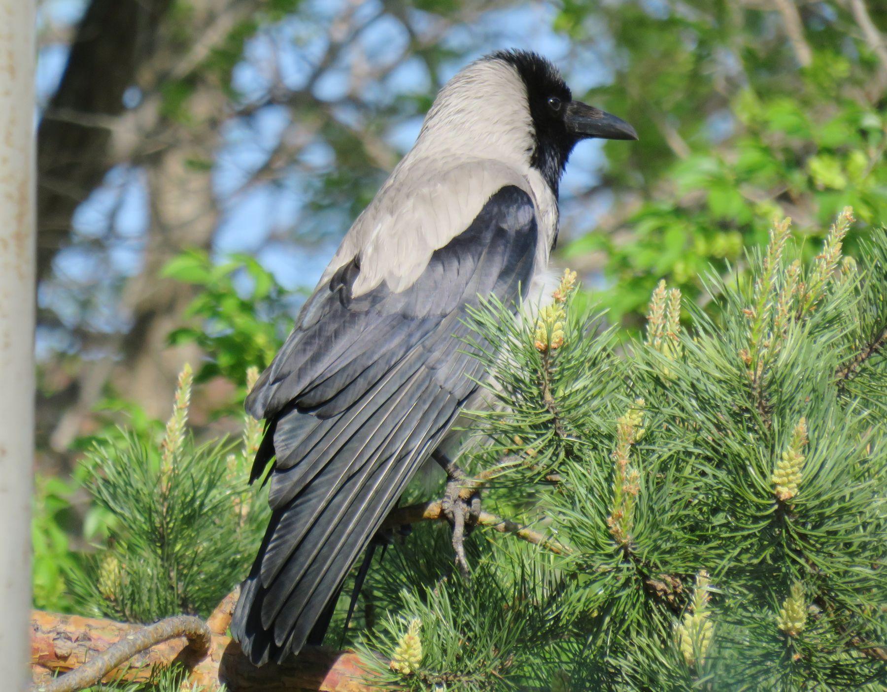 Ворона птицы ворона весна