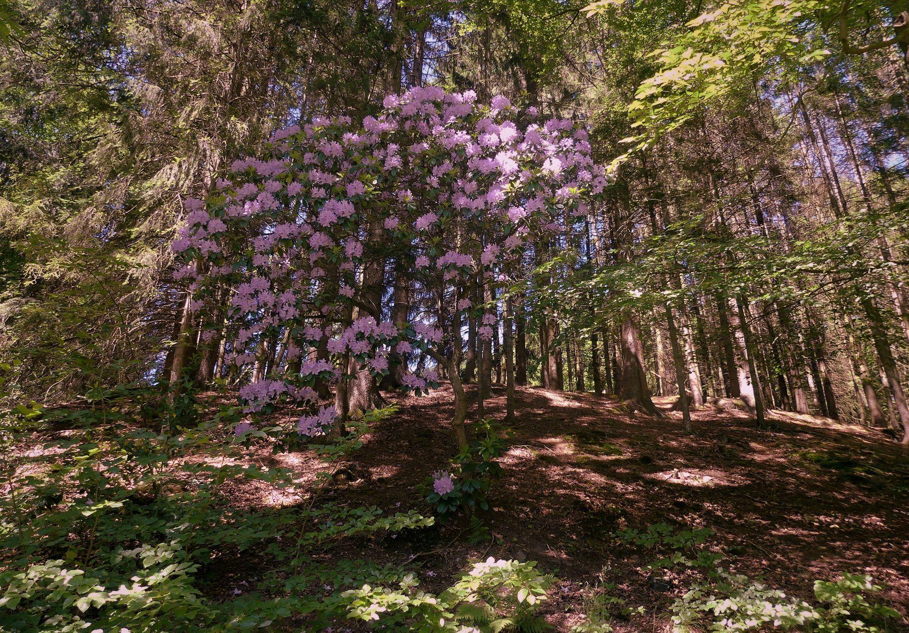 Заблудившийся в лесу Лес рододендрон