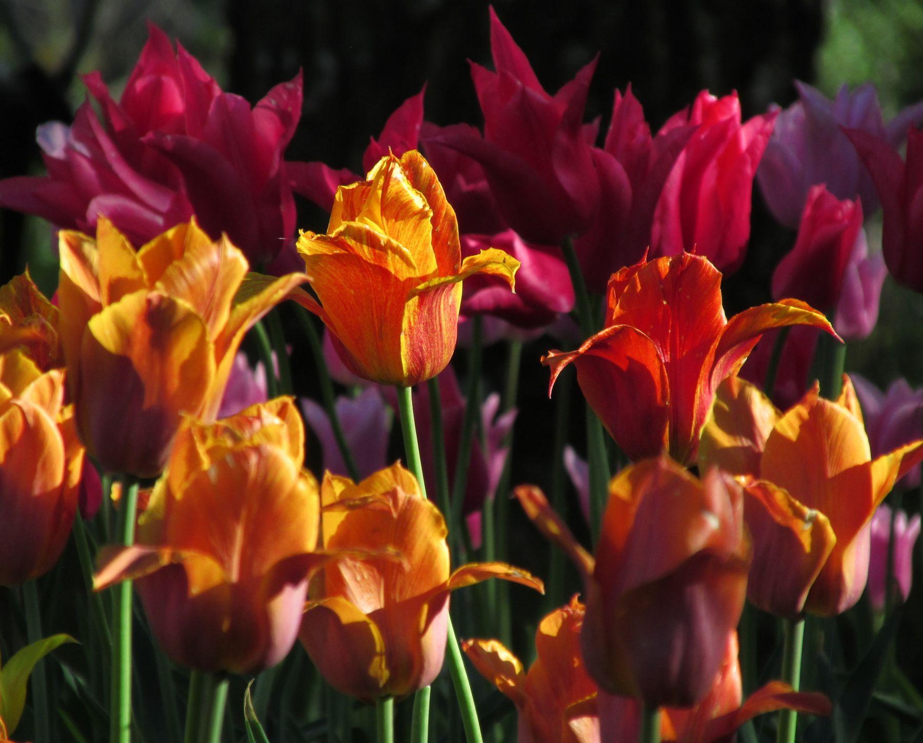 *** тюльпаны.LNBD.22.05.2021