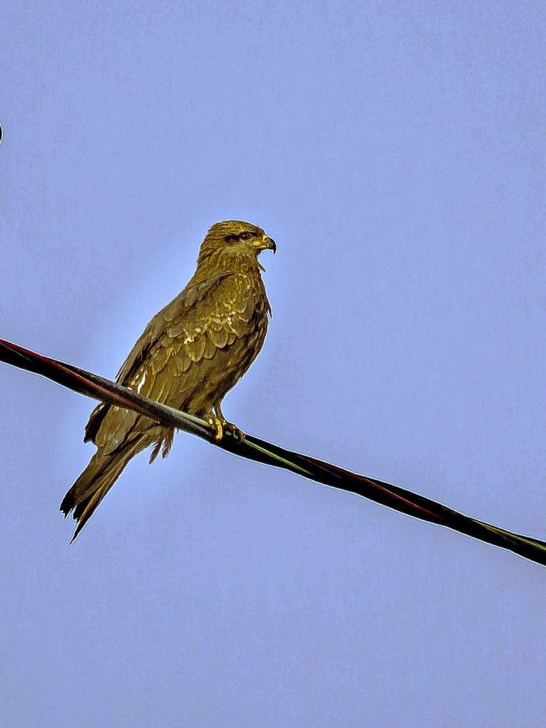 Коршун Птицы лес природа