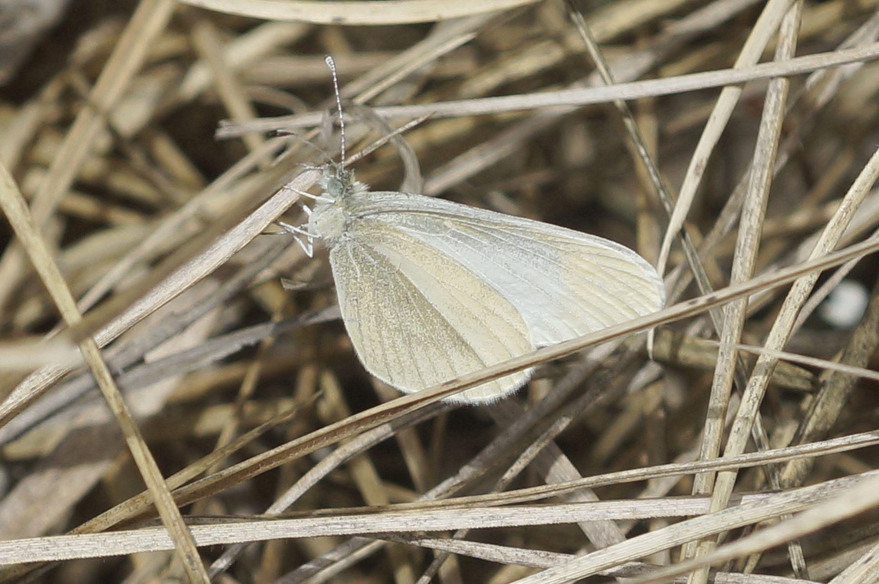 Белянка бабочка весна лес белянка