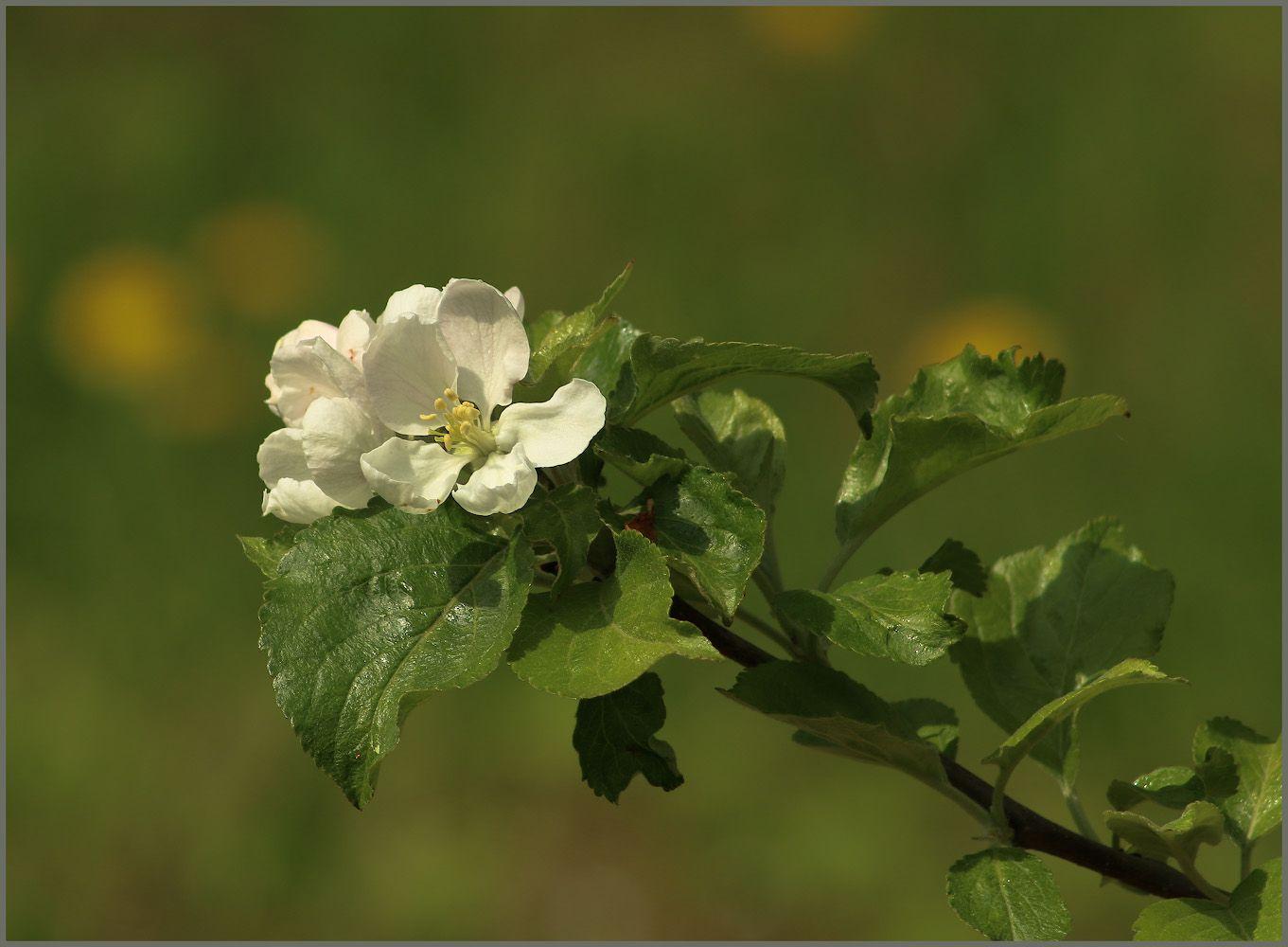 Лучше нету того цвету яблоня цветок июнь