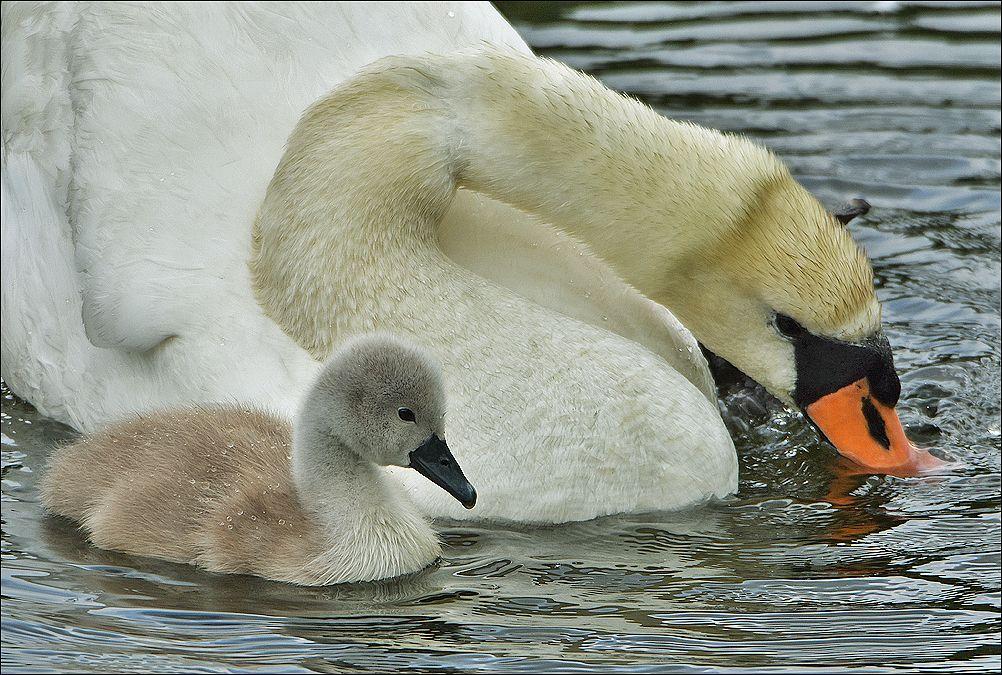 *** Польша озеро молодой лебедь два лебеди вода взрослый Бытом