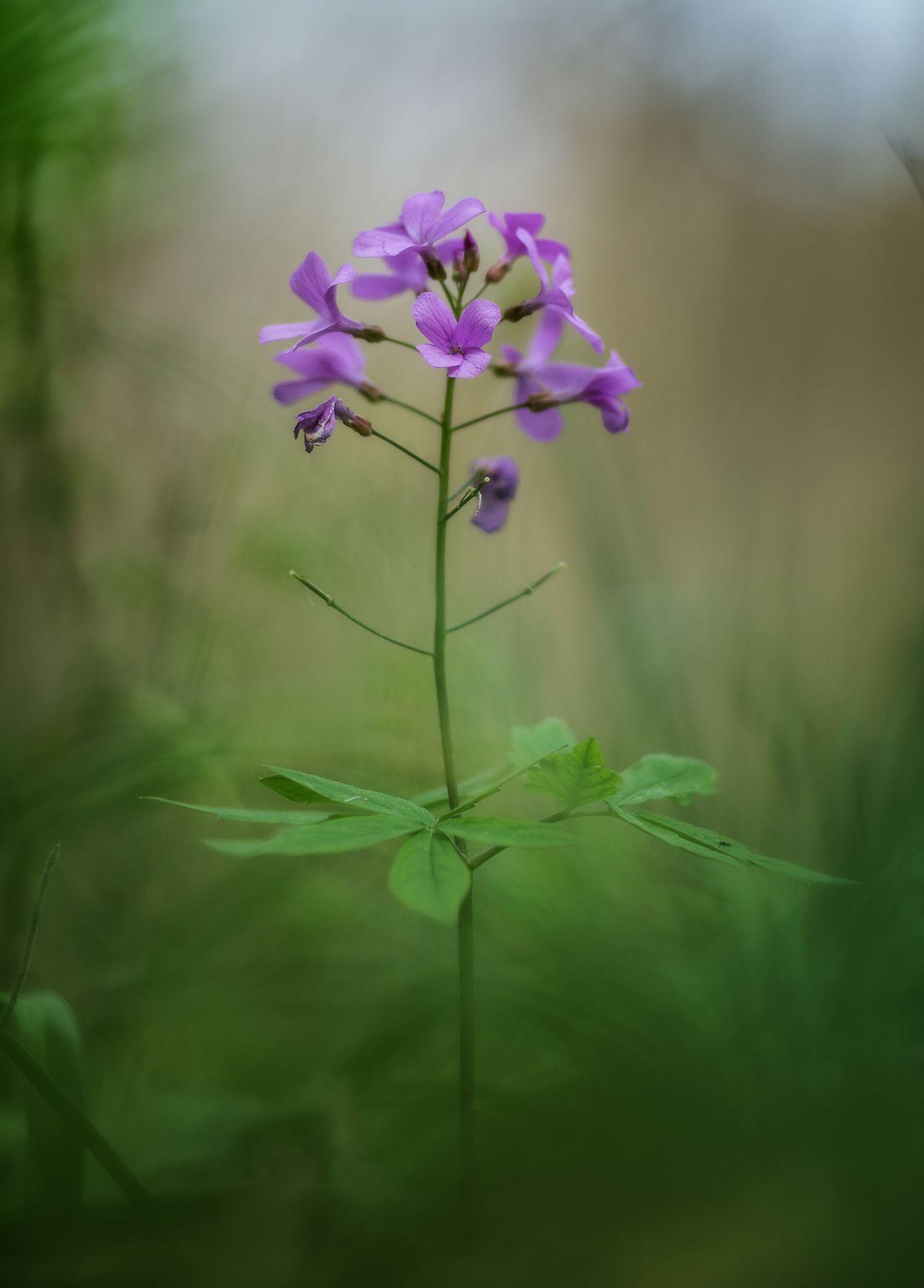 Портрет зубянки пятилистной цветы макро природа