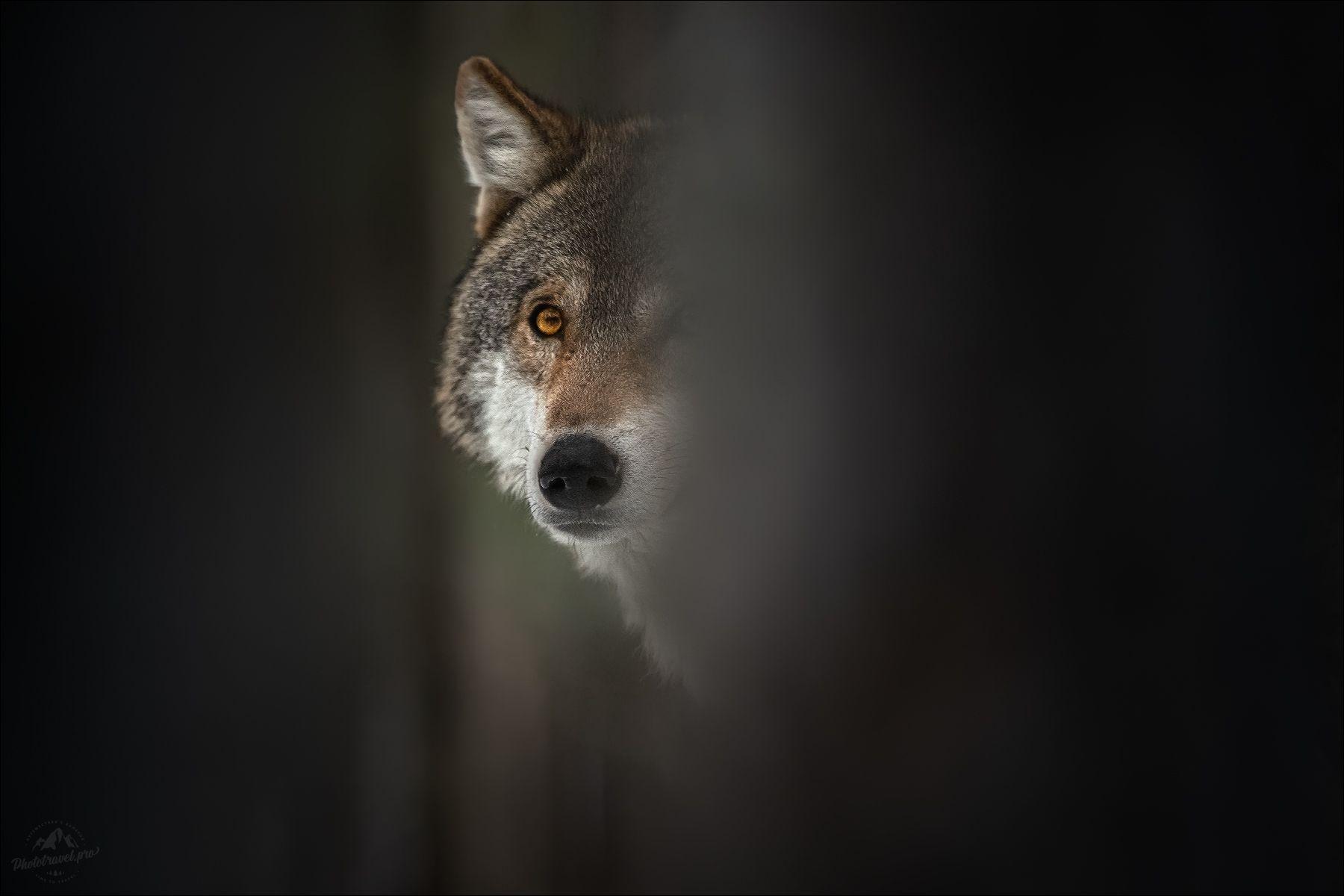 ВЗГЛЯД волк wolf красная шапочка беларусь красный бор фототур в фотоохота canis lupus red riding hood серый обыкновенный евразийский европейский