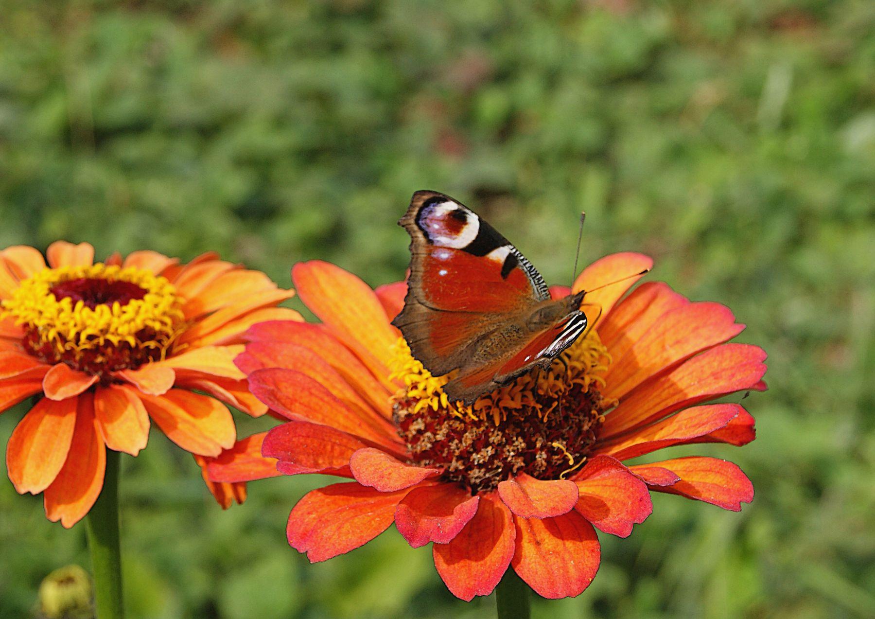 Циния с павлиньим глазом цветок бабочка циния павлиний глаз