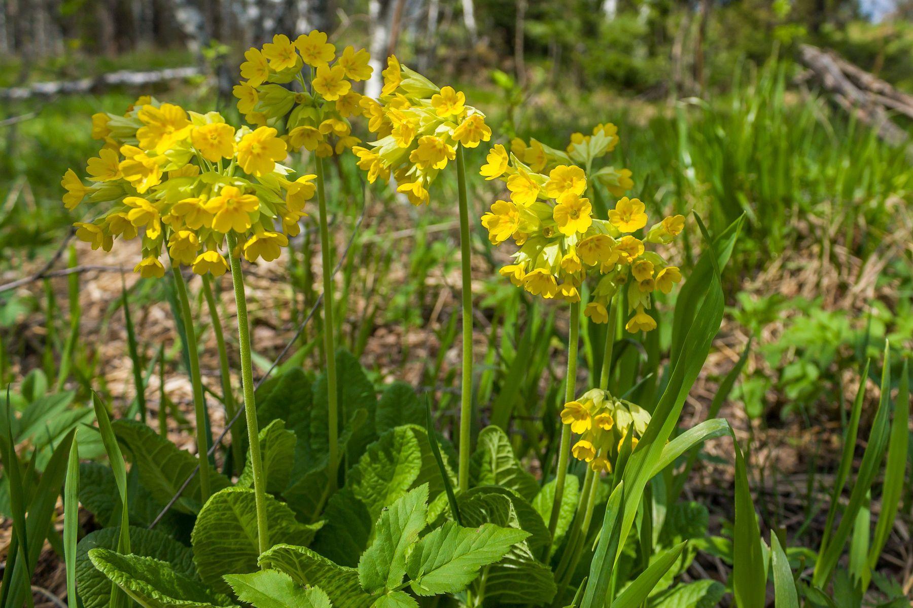 Первоцвет весенний (Примула весенняя) Южный Урал Миасс Костроминка