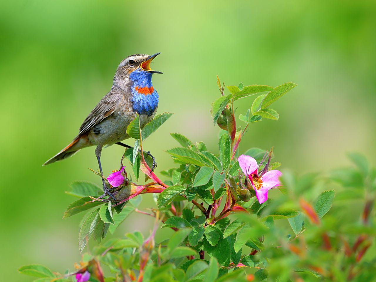 Пою привет хвалебный лету природа птицы фотоохота варакушка