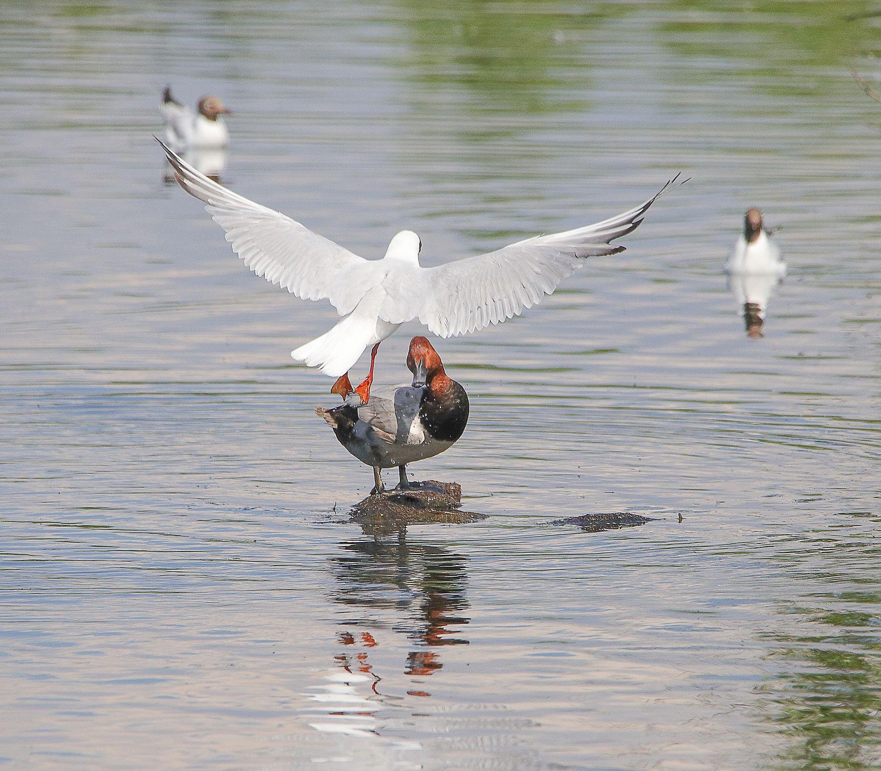 борьба за кочку птицы водоплавающие красноголовый нырок чайка