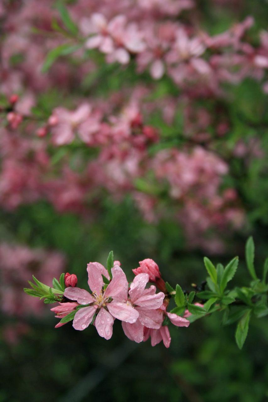 цветущий миндаль миндаль весна цветение цветы лепестки ветка размытие пасмурно дождь капли листва розовый