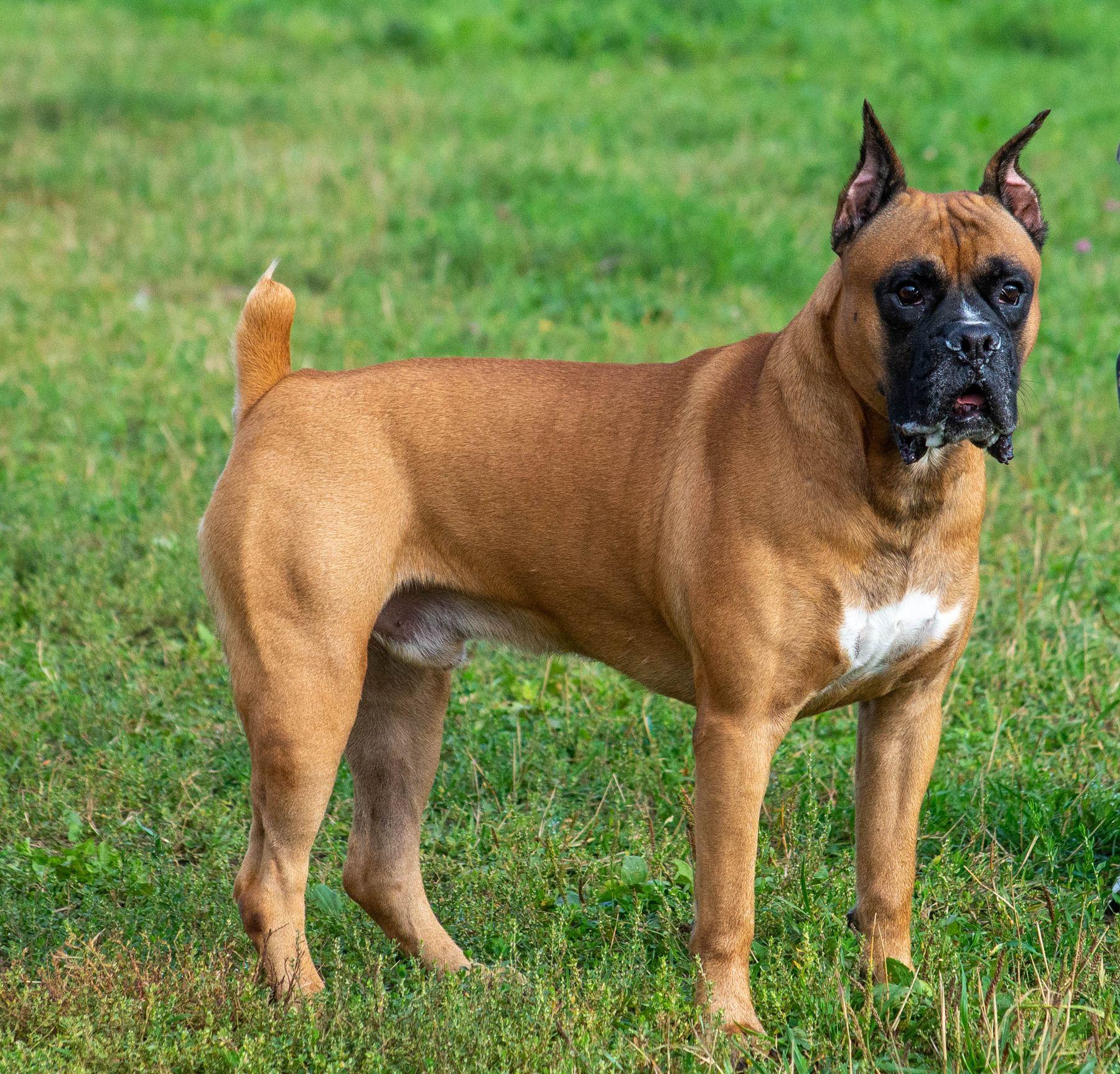 *** собака питомец породы собак боксер