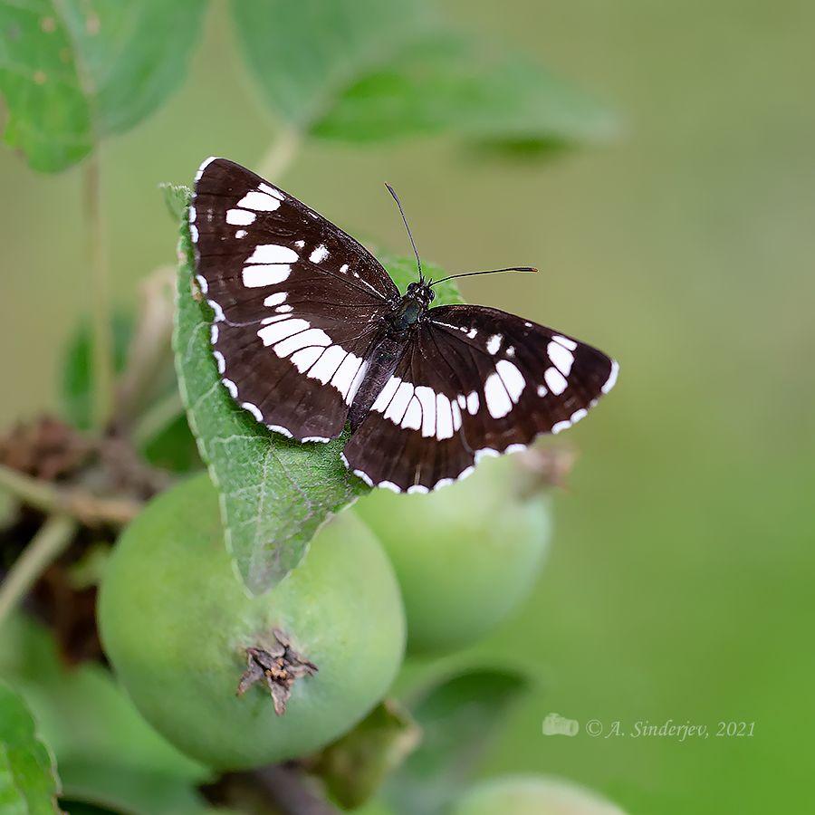 Бабочка на яблоне пеструшка таволговая бабочка макро