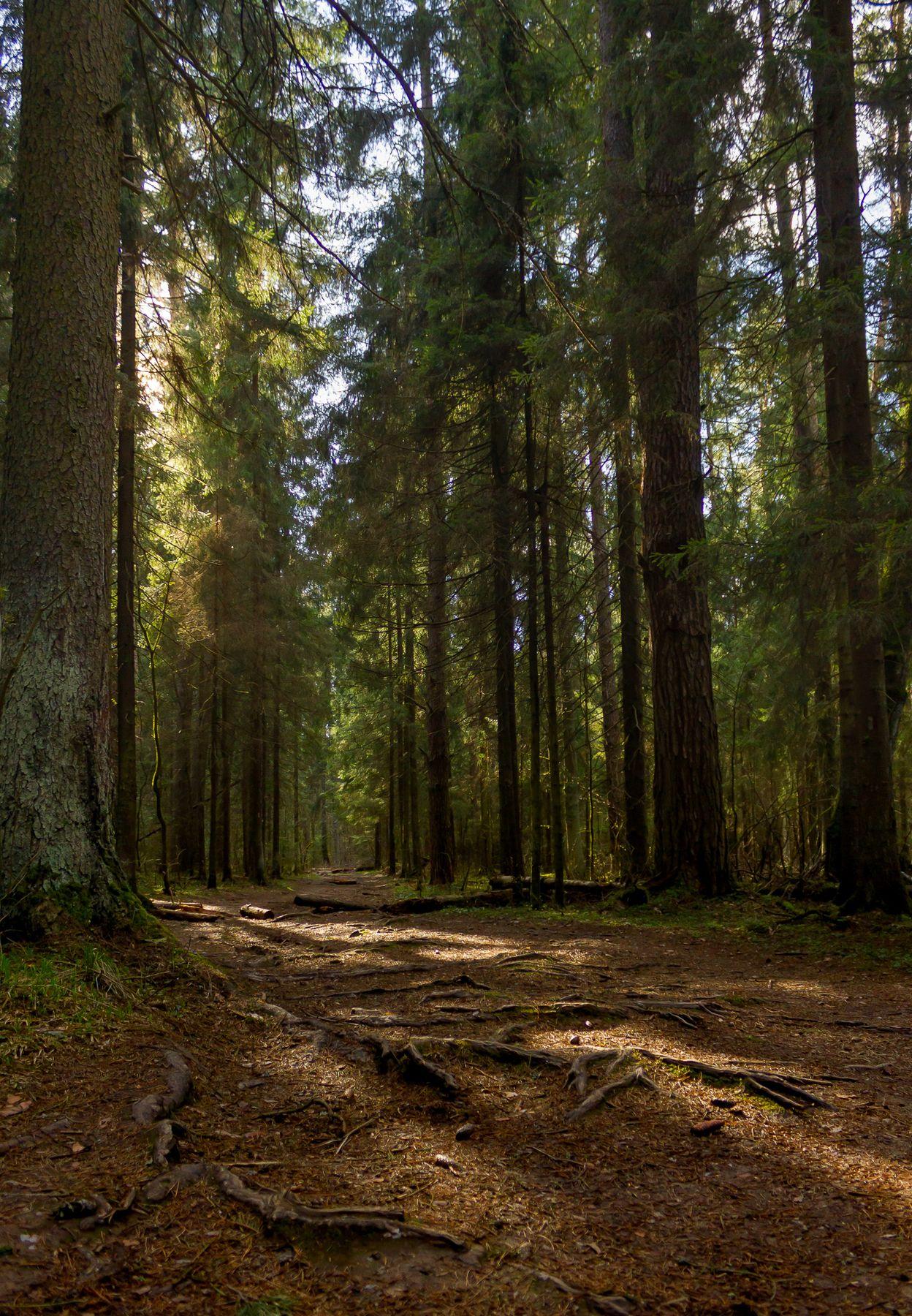 Солнечный день в лесу лес солнце весна