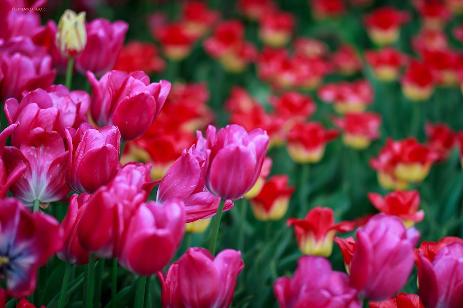 Тюльпаны Тюльпаны цветы лето весна