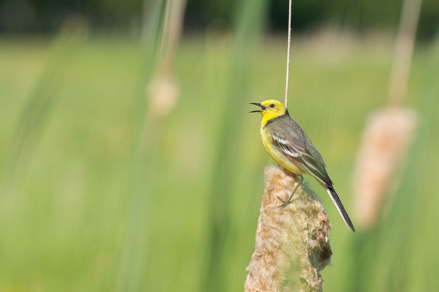 Малая желтоголовая трясогузка Трясогузка птица фотоохота Сибирь