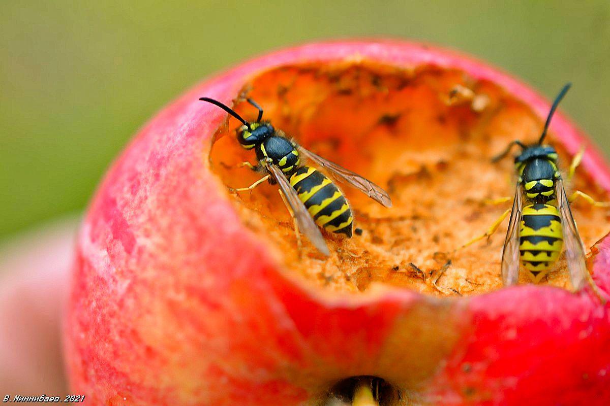 Осиная трапеза природа осы яблоко