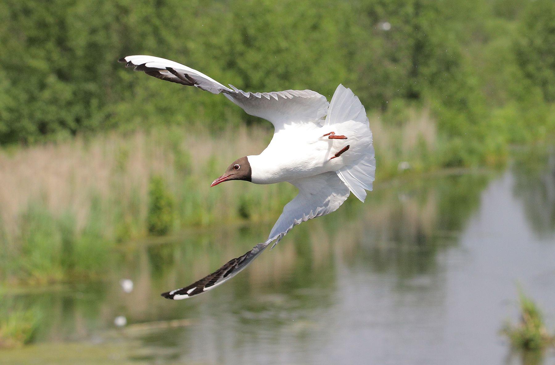 боевой разворот птицы водоплавающие чайки