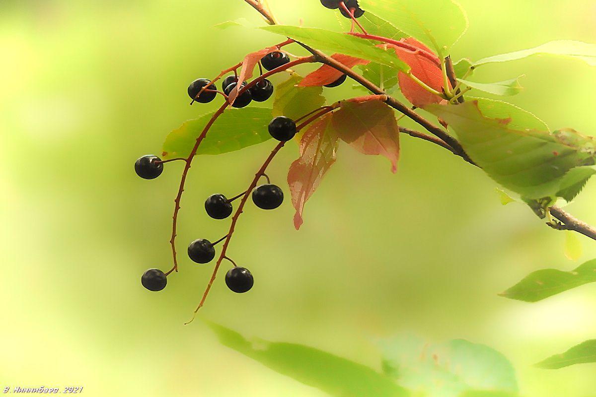 Черёмуха природа лето растения черёмуха