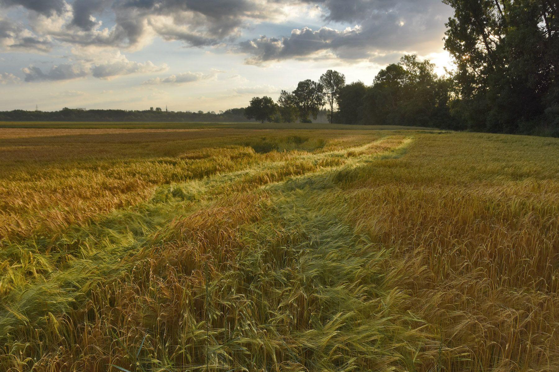 утро конца июля утро поле рожь свет цвет структура