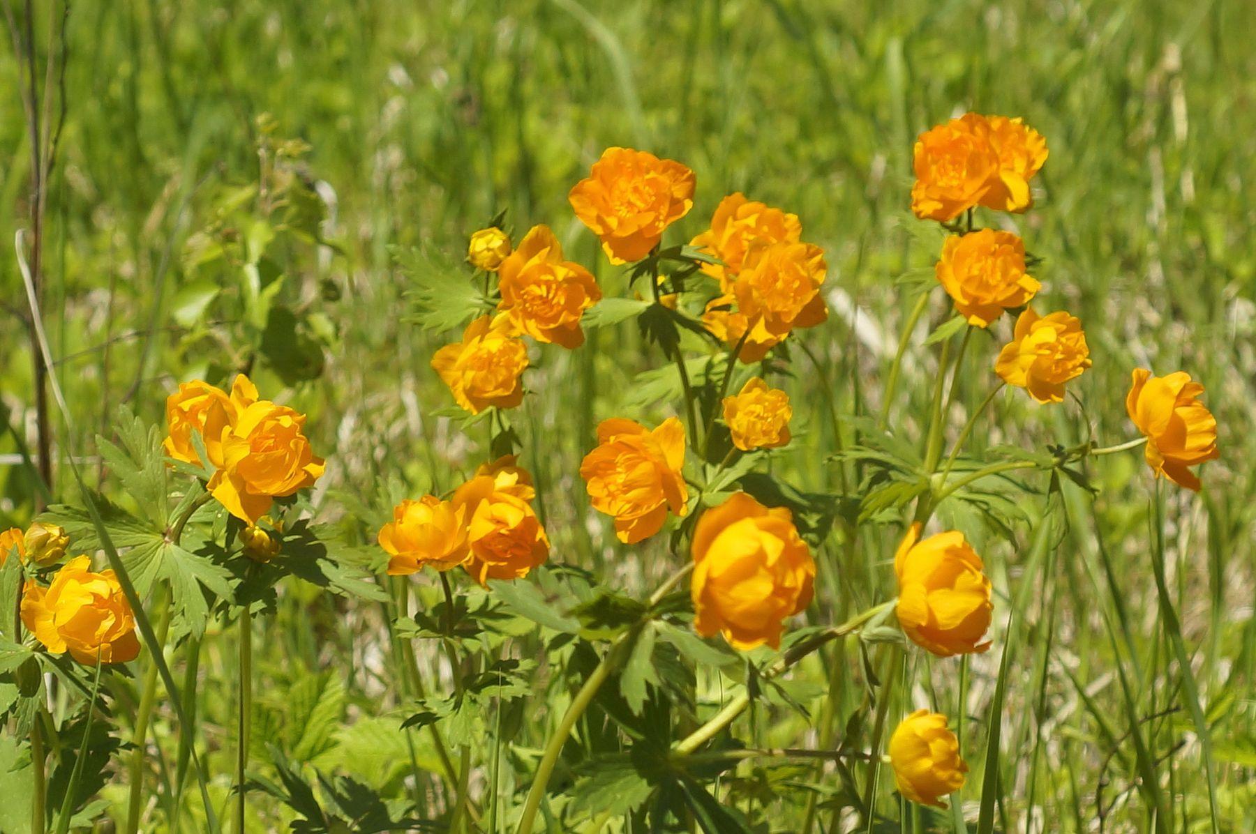 Жарки жарок цветы лето лес купальница азиатская