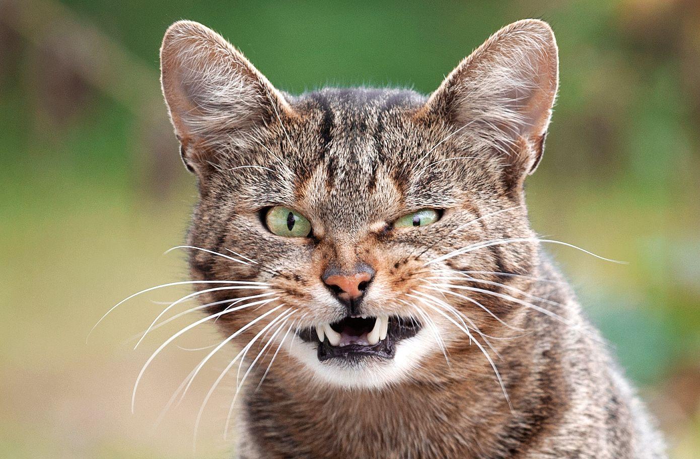Кот зевает кот котик котики животное анималистика