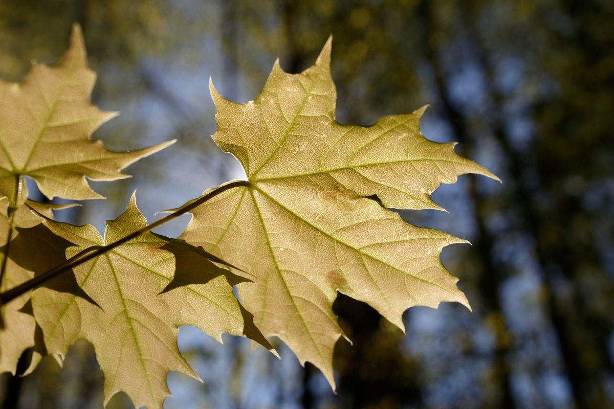 Кленовая ветка кленовый лист кленовая ветка весна солнце лес утро