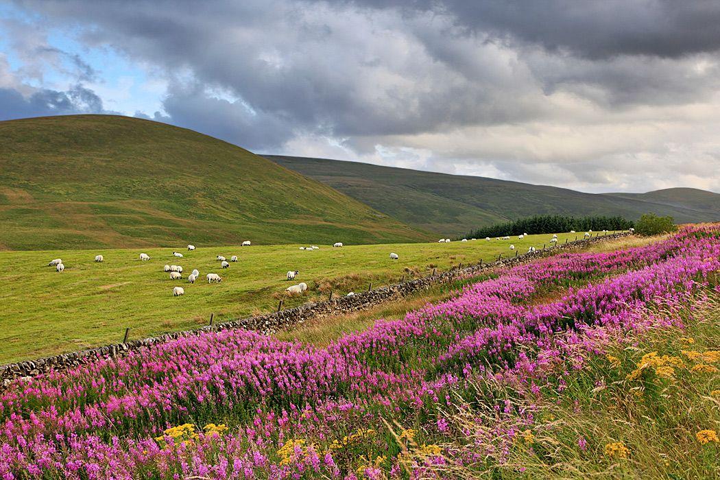 На волнах иван-чая шотландия цветы холмы лето
