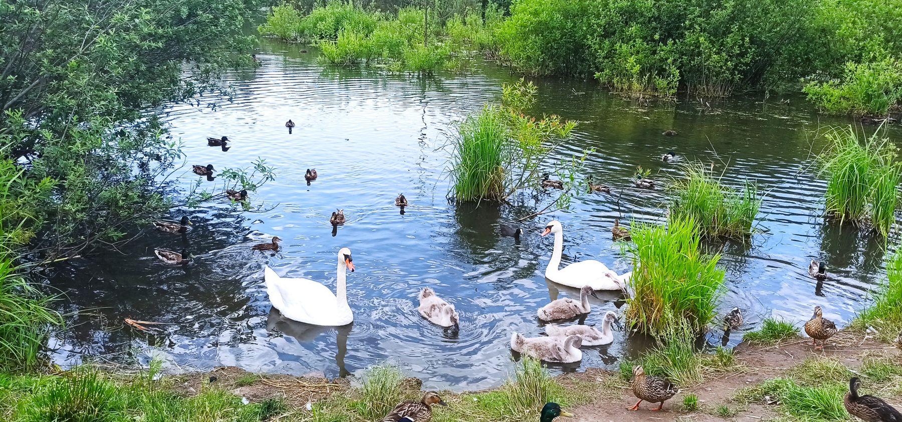 Пополнение в семье лебедей. Лебеди парк пополнение птенцы вода июнь