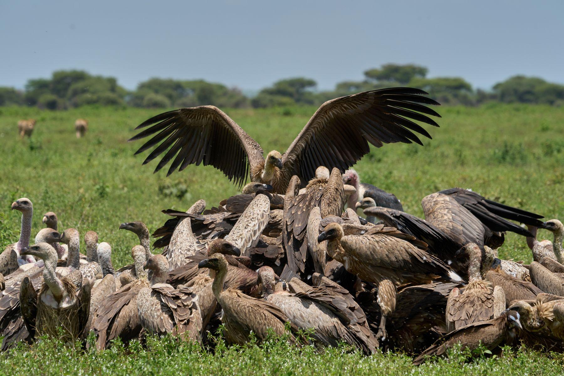 Грифы доедают за гепардами антилопу гну Танзания Нгоронгоро Африка природа птицы грифы