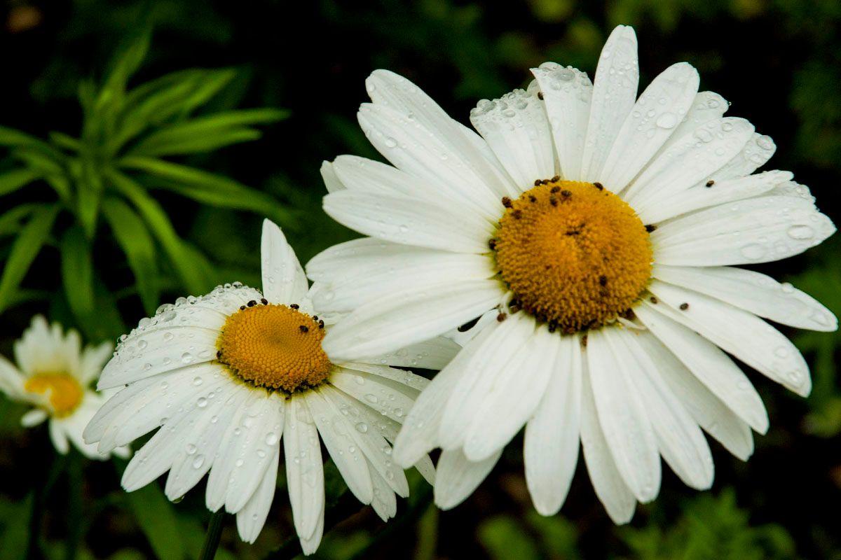 Ромашки. природа цветы