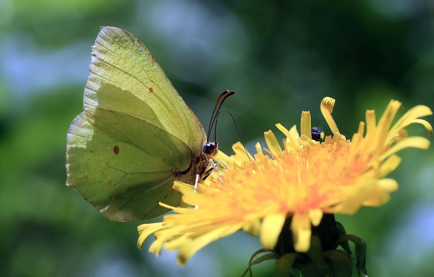 На последнем одуванчике. Бабочка лимонница