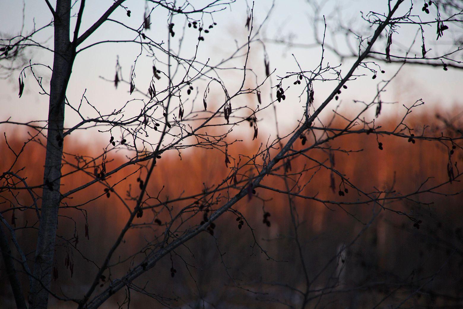 Alnus glutinosa Зараменье весна ранняя ольха черная Alnus glutinosa