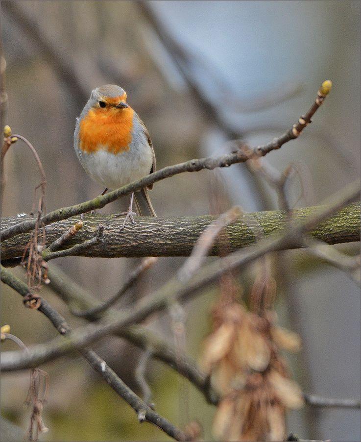 малиновка малиновка самец весна Польша Бытом