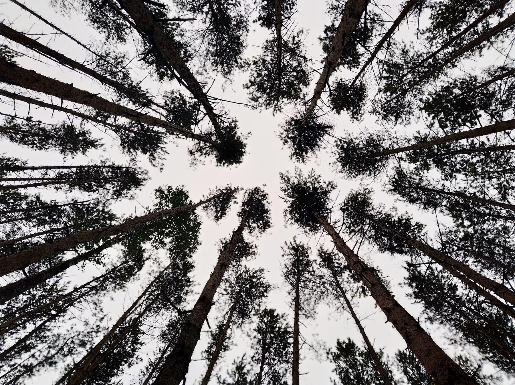 сосны великаны лес сосны природа
