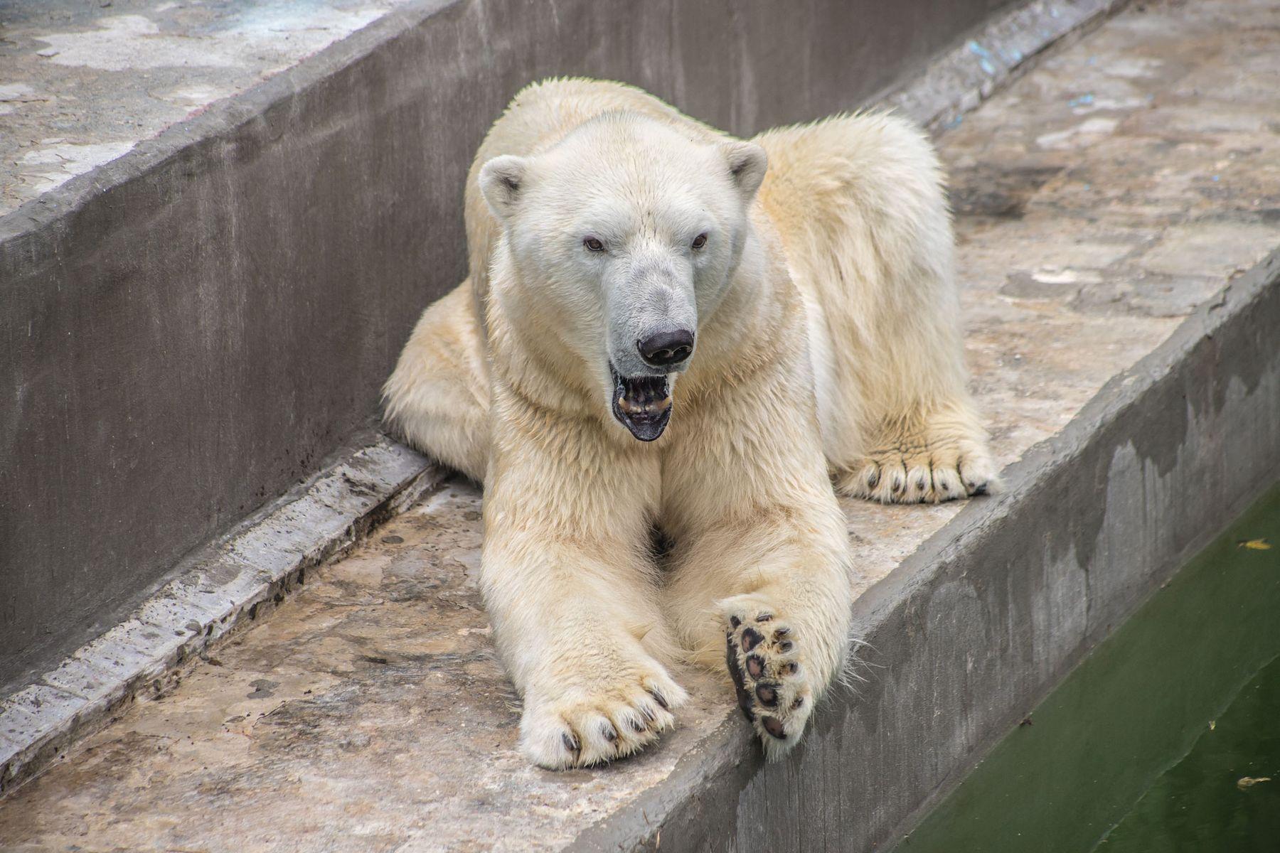 ***Полярный медведь Кай.