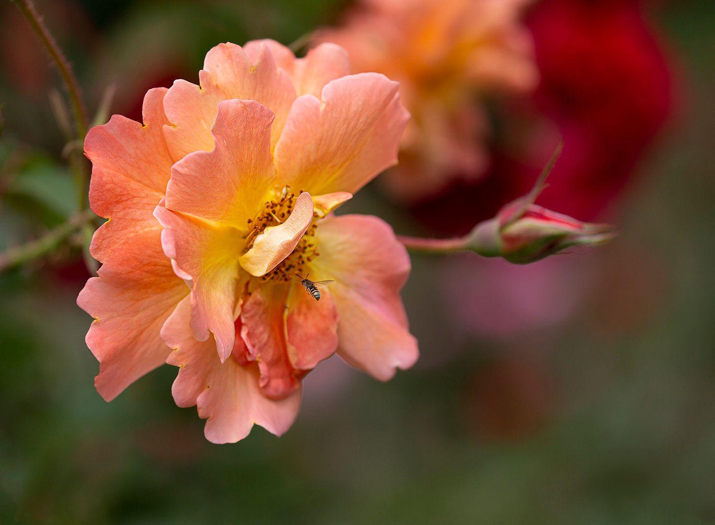 Розовая роза роза оса
