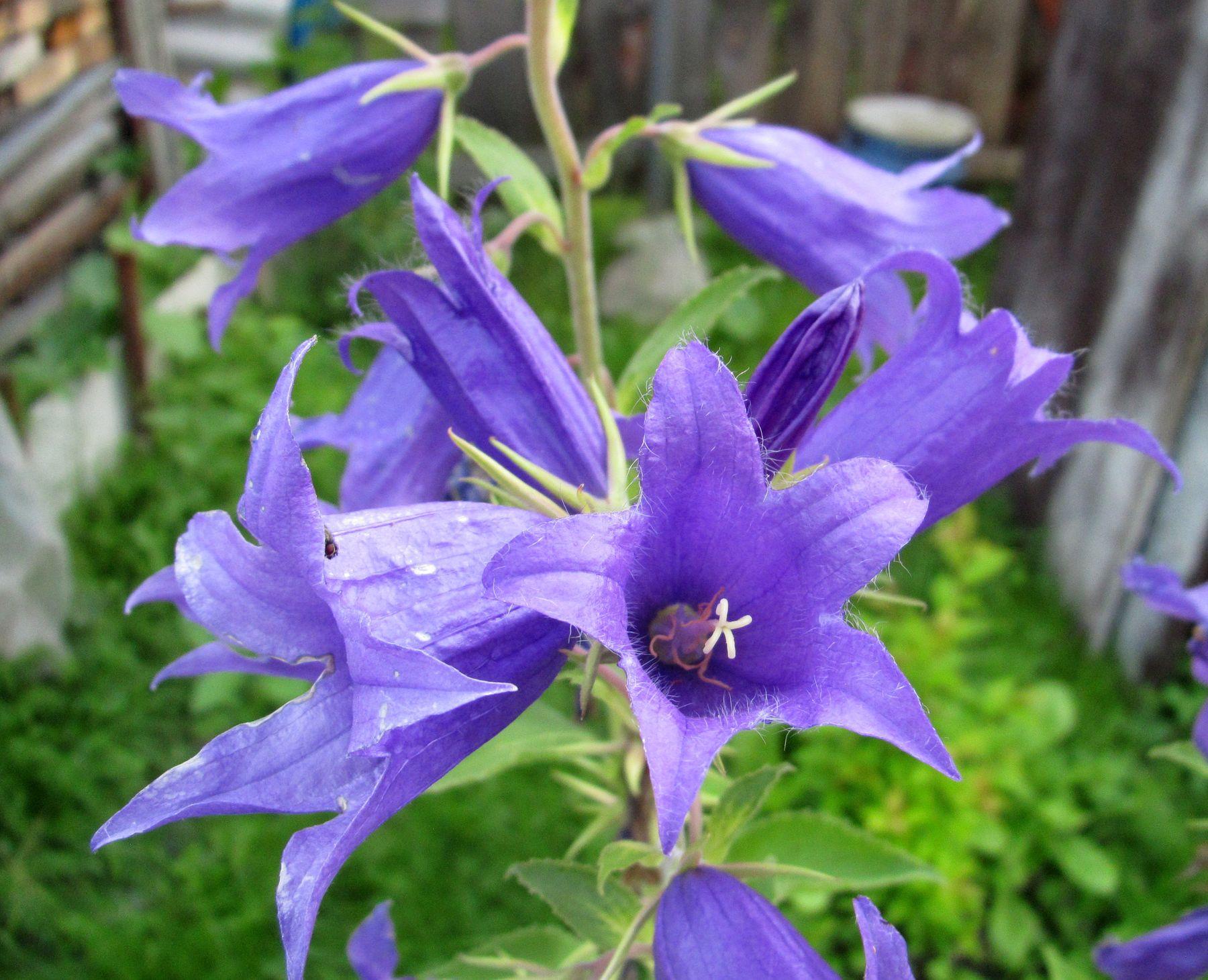Июльский колокольчик июль цветы колокольчики