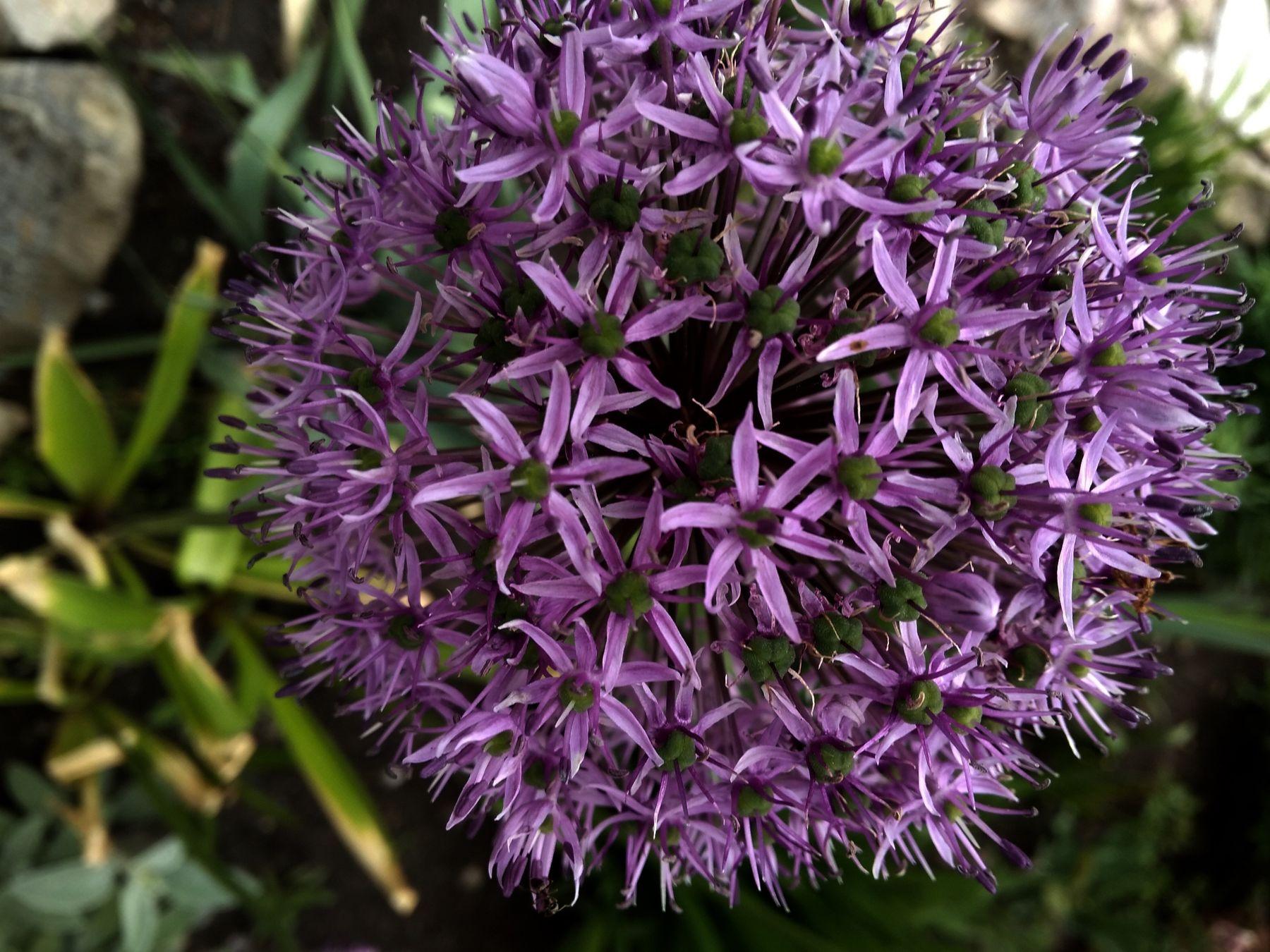 Декоративный лук цветы