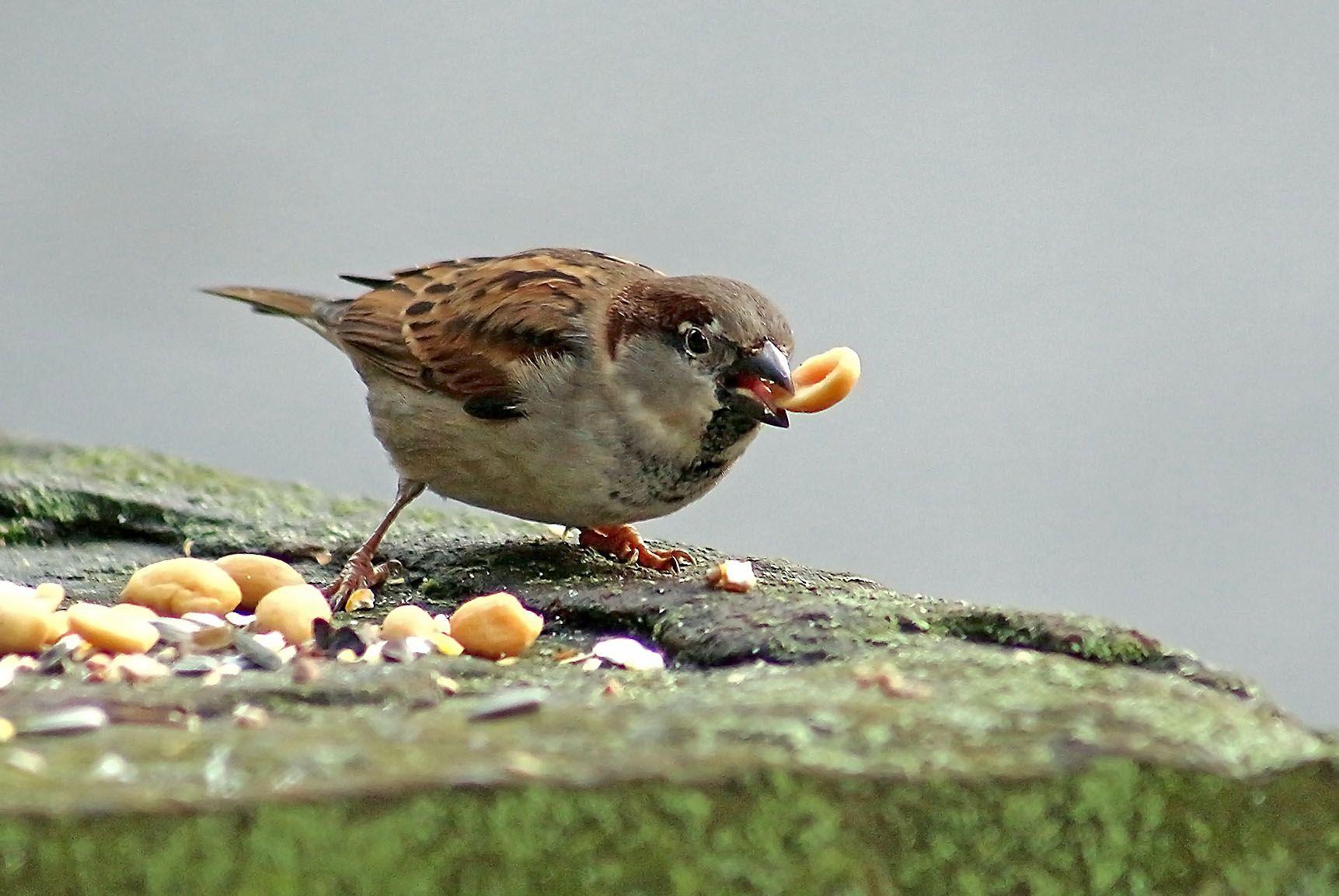 Во отхватил воробей кёльн парк природа птица фотоохота