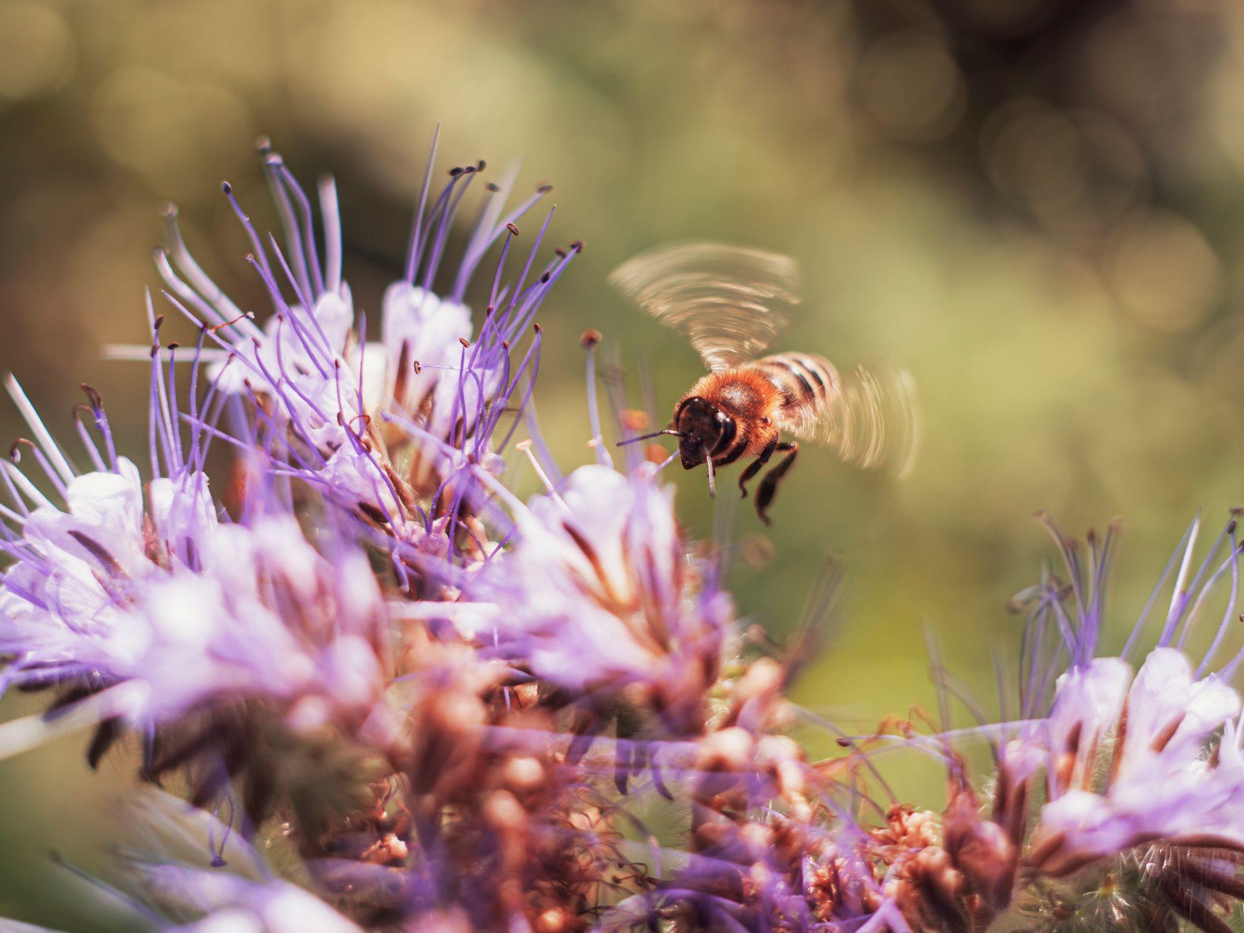 Бзззз макро пчела цветок лето природа