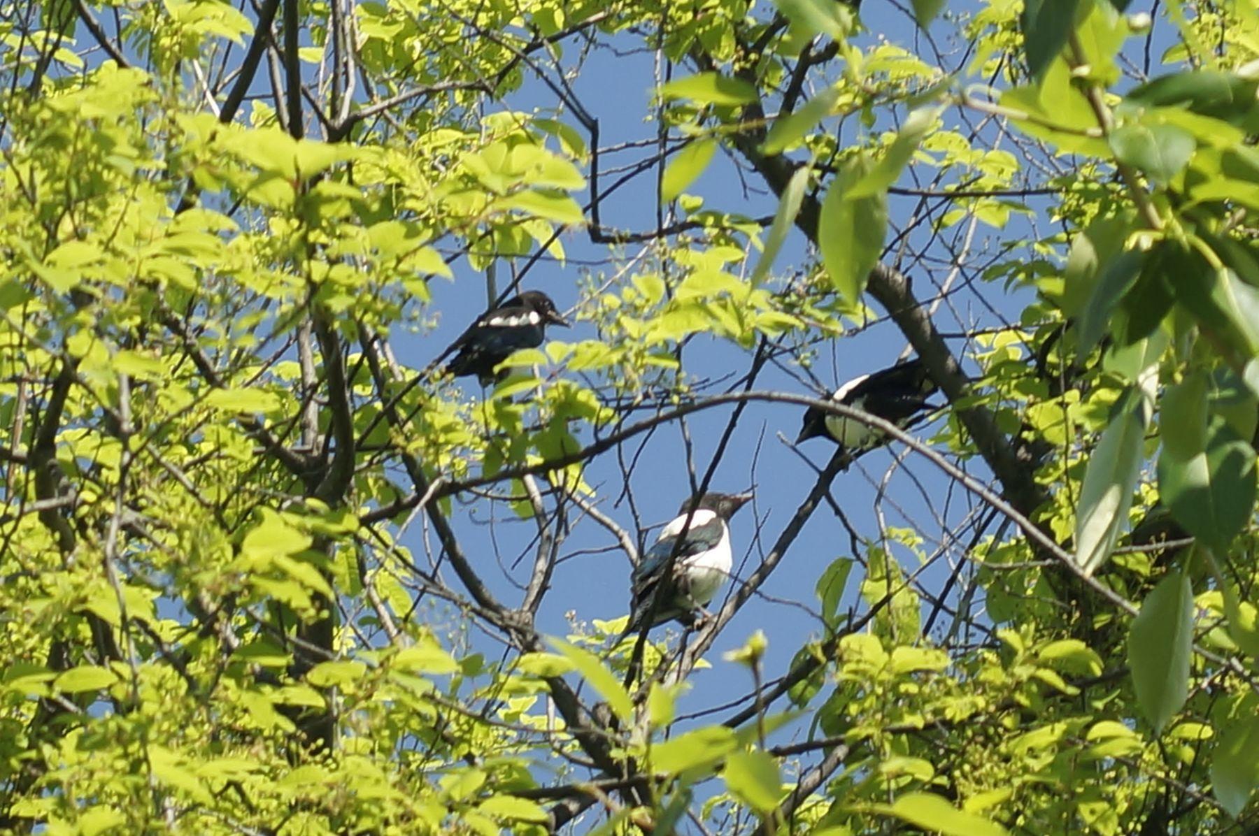Сорочата сорочата птенцы лето черемуха лес