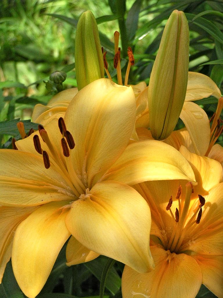 Лилии цветы
