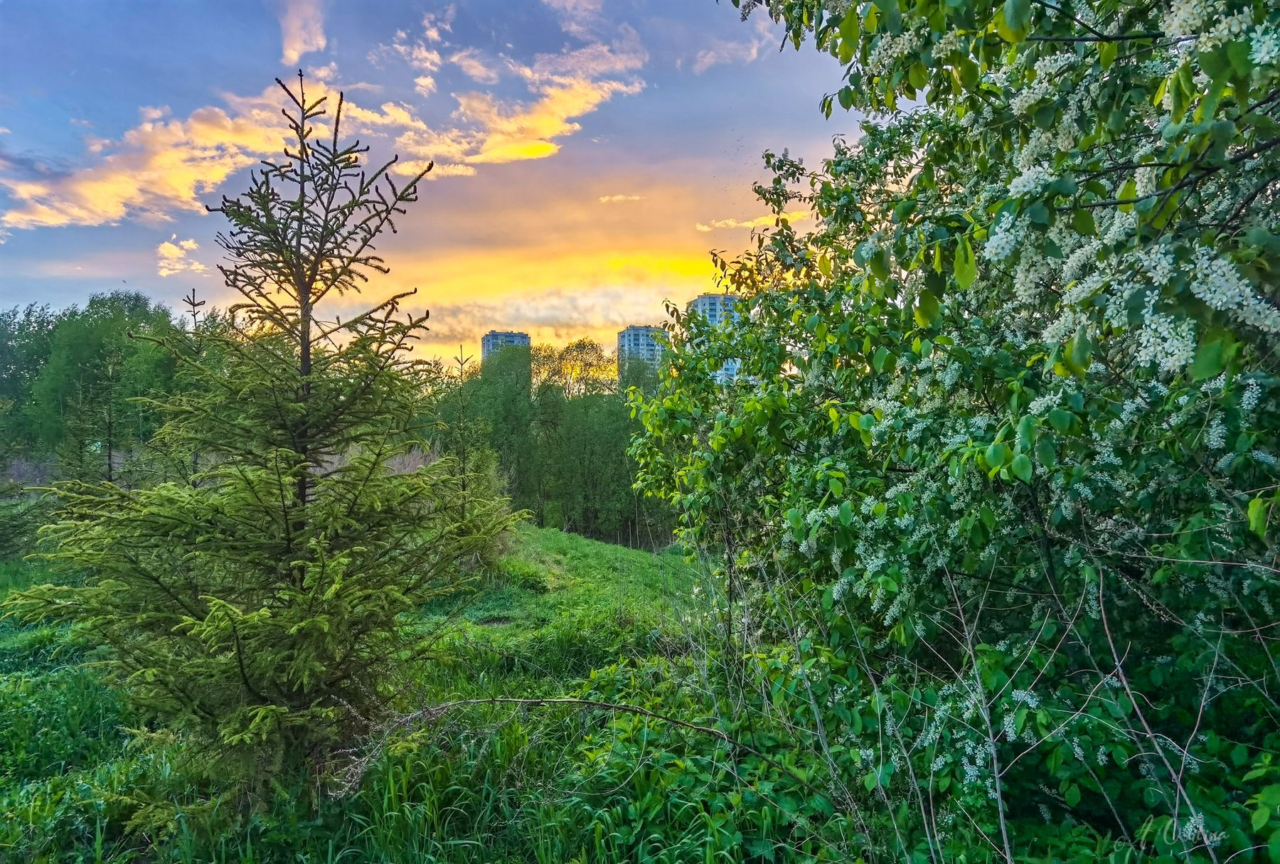Дурман черемухового вечера вечер закат елка черемуха аромат соловьи холм дома город лес облака