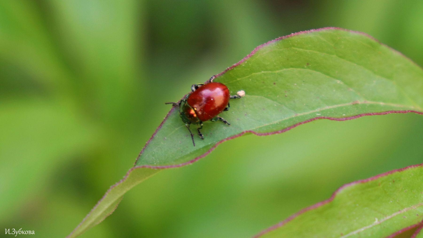 Осиновый жук листоед жук насекомые макро