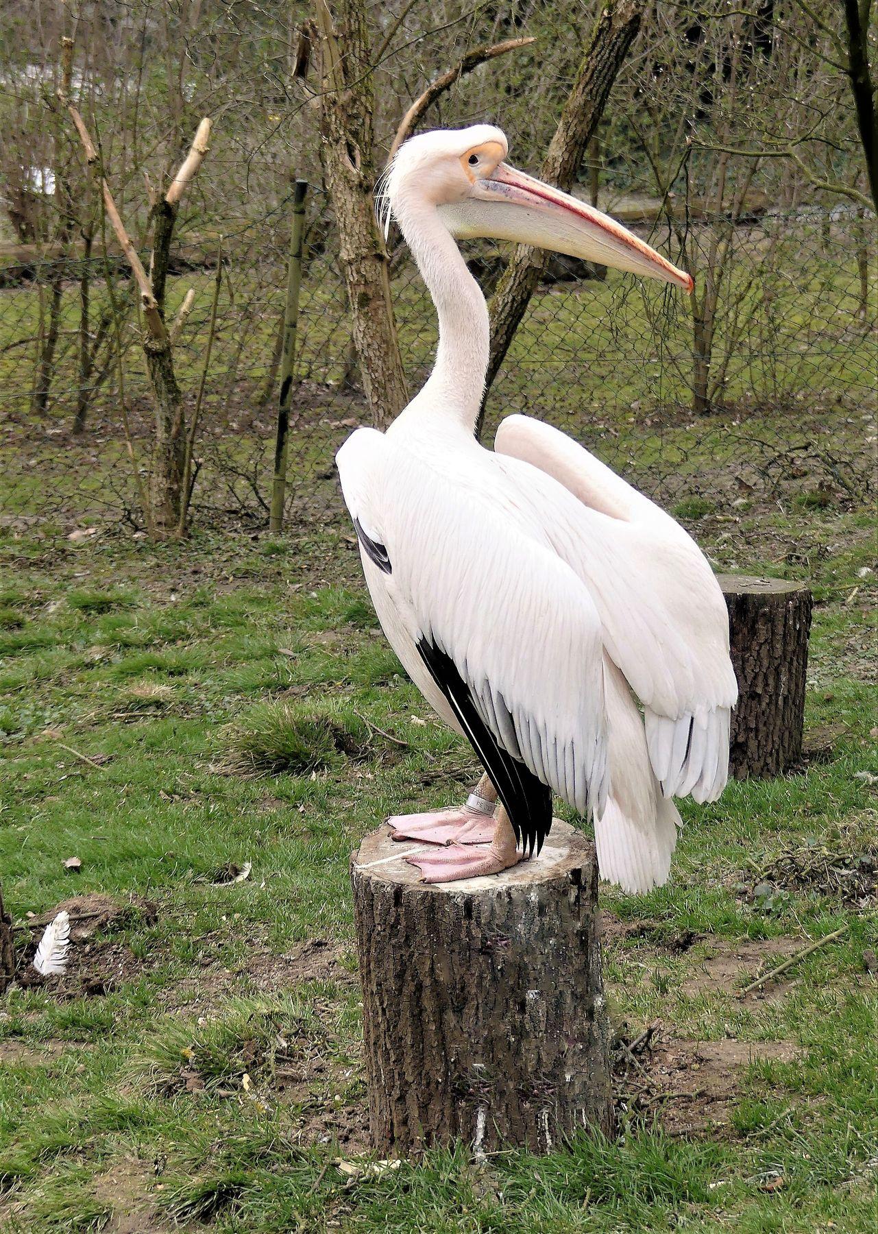 И оглянулась я, чтобы посмотреть не оглянулся ли он Зоопарк пеликан
