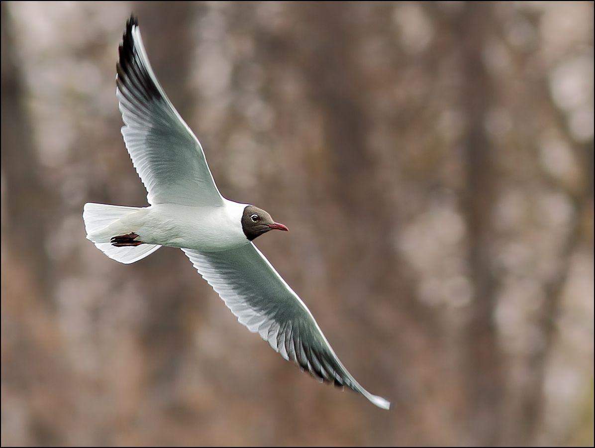 Вираж птица чайка Larus ridibundus вираж