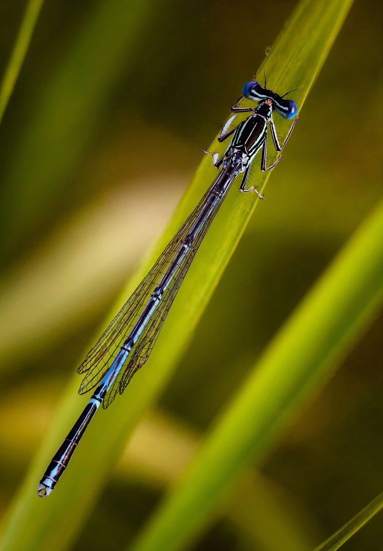 стрекоза макро насекомые жуки стрекозы