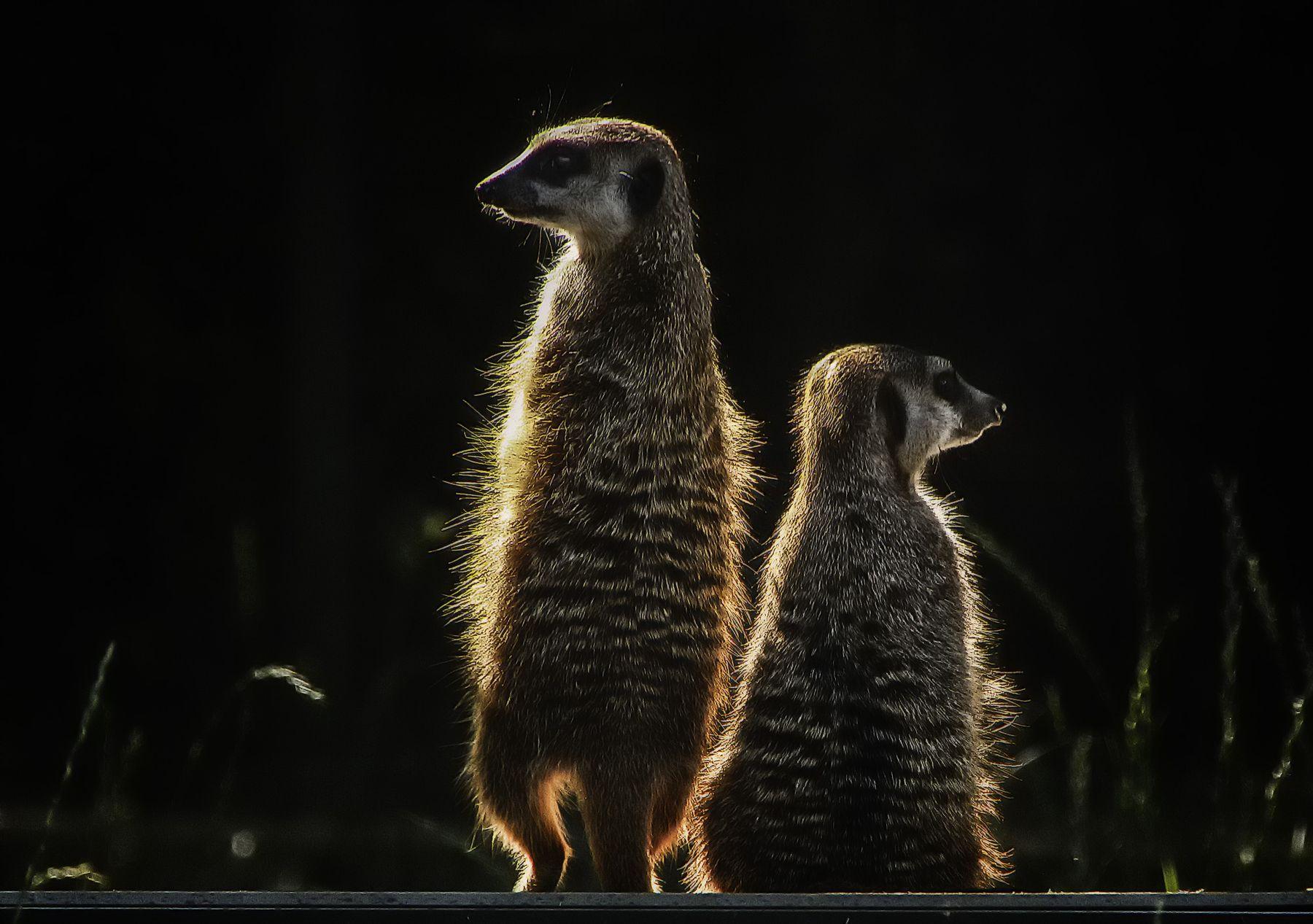 Маленькие человечки кёльн животные зоопарк сурикаты